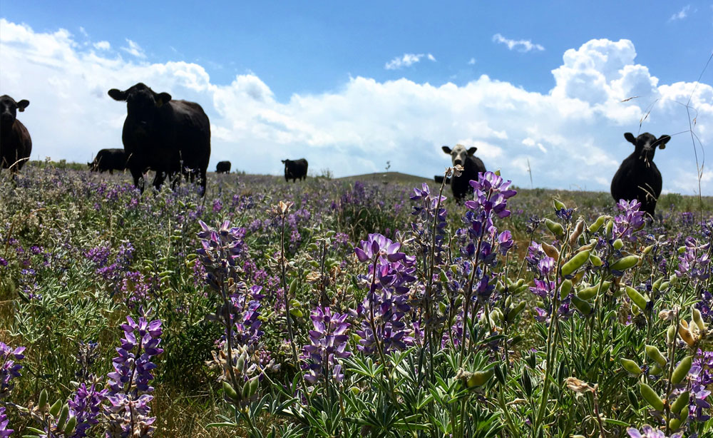 cows in lupine field